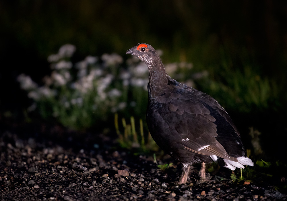 Orre  / Black Grouse (Lyrurus tetrix tetrix)