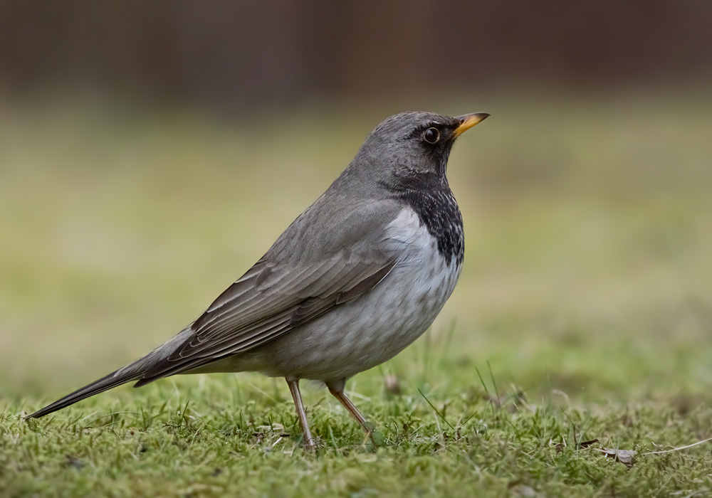 Black-throated Thrush / Svarthalsad trast (Turdus atrogularis)
