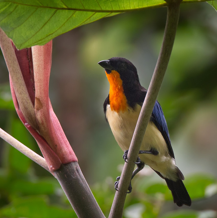 Orange-throated Tanager (Wetmorethraupis sterrhopteron)