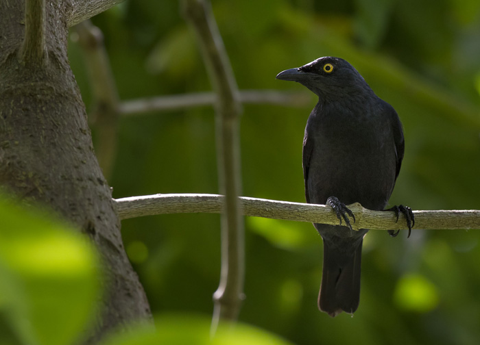 Atoll Starling (Aplonis feadensis)