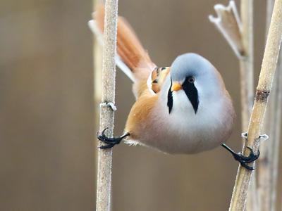 Bearded Reedling, Tits, Nuthatch and Treecreepers