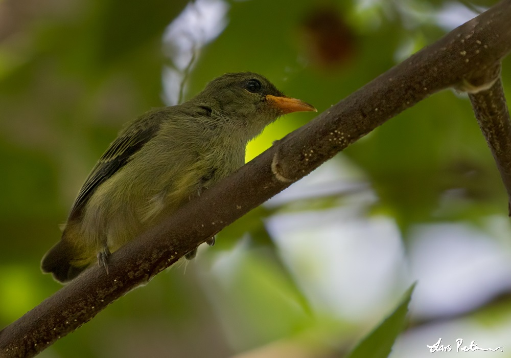 Flowerpecker sp.
