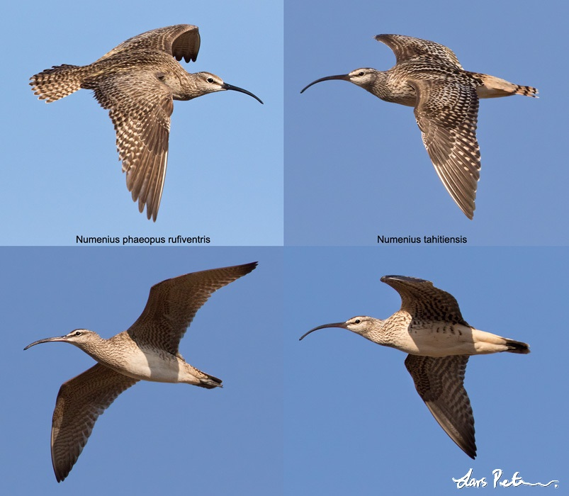 Hudsonian Whimbrel vs. Bristle-thighed Curlew comparation