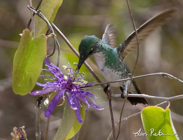 Plain-bellied Emerald