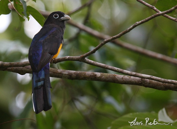 Western White-tailed Trogon