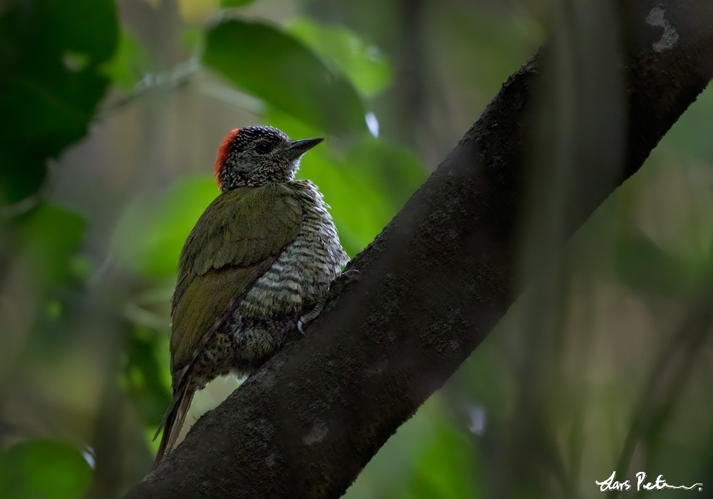 Green-backed Woodpecker