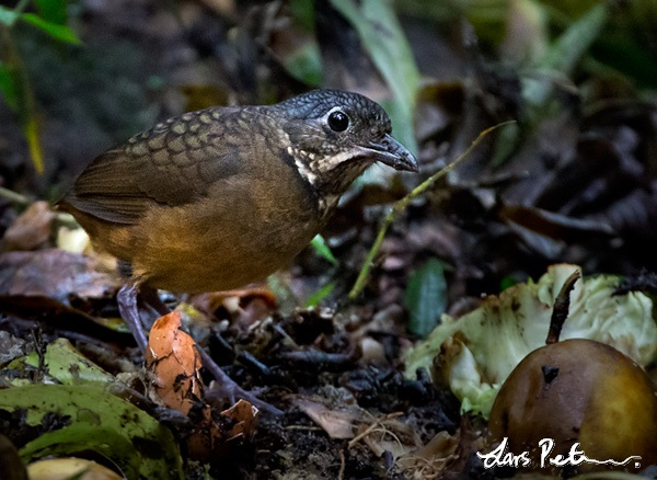 Scaled Antpitta
