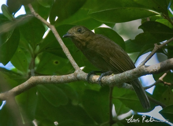 Brown-winged Schiffornis