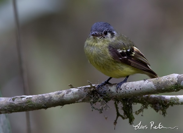 Ashy-headed Tyrannulet