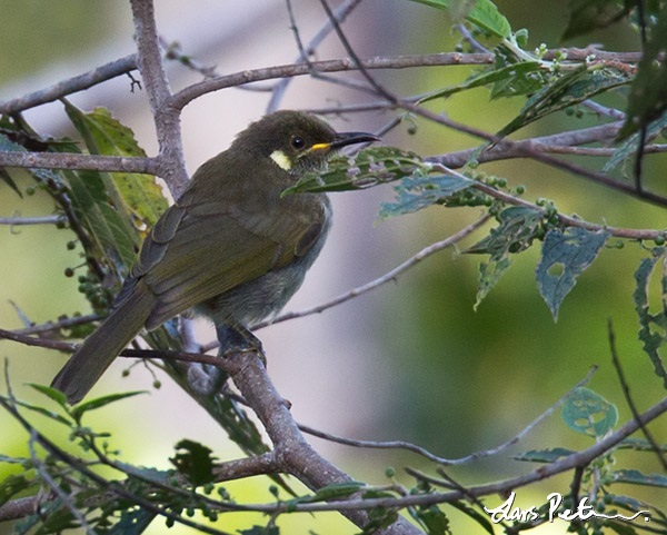 Mountain Honeyeater