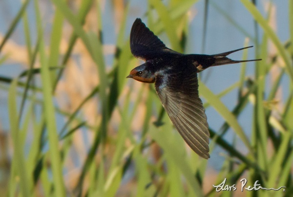 American Barn Swallow