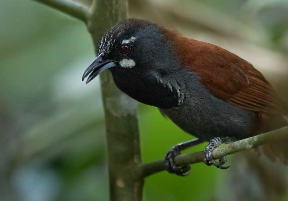 Black-throated Babbler