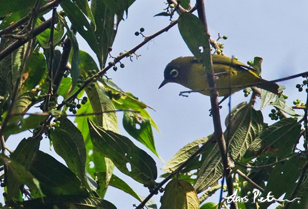 Capped White-eye