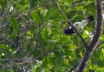 Red-billed Pied Tanager