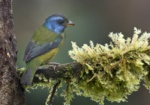 Moss-backed Tanager