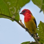 Red-hooded Tanager