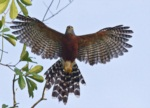 Long-tailed Hawk