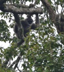 West Javan Gibbon