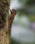African Pygmy Squirrel