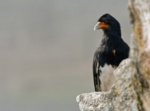 Mountain Caracara