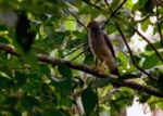 Lined Forest-falcon