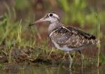 Greater Painted-snipe
