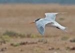 West African Crested Tern