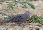 Ecuadorian Ground Dove