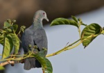 Island Bronze-naped Pigeon