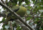 Flores Green Pigeon
