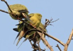 Pin-tailed Green Pigeon