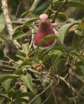 Pink-headed (Pink-necked) Fruit-Dove