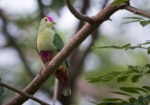 Red-bellied Fruit Dove