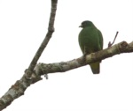 White-bibbed Fruit Dove