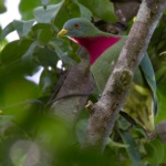 Claret-breasted Fruit Dove