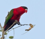 Purple-bellied Lory