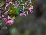 Plum-faced Lorikeet