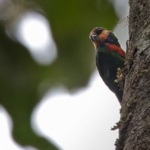 Red-breasted Pygmy Parrot
