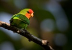 Red-headed Lovebird