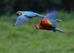CAPTIVE Blue-and-yellow and Scarlet Macaw