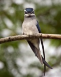 Moustached Treeswift