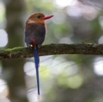 Brown-headed Paradise Kingfisher