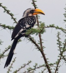 Northern (Eastern) Yellow-billed Hornbill