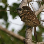 Two-banded Puffbird