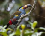 Plate-billed Mountain Toucan