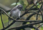 Ocellated Piculet