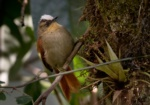 Marcapata Spinetail