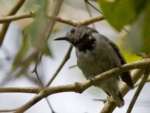 Band-tailed Antwren