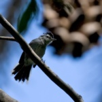 Black-capped Antwren