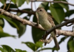Mouse-colored Tyrannulet